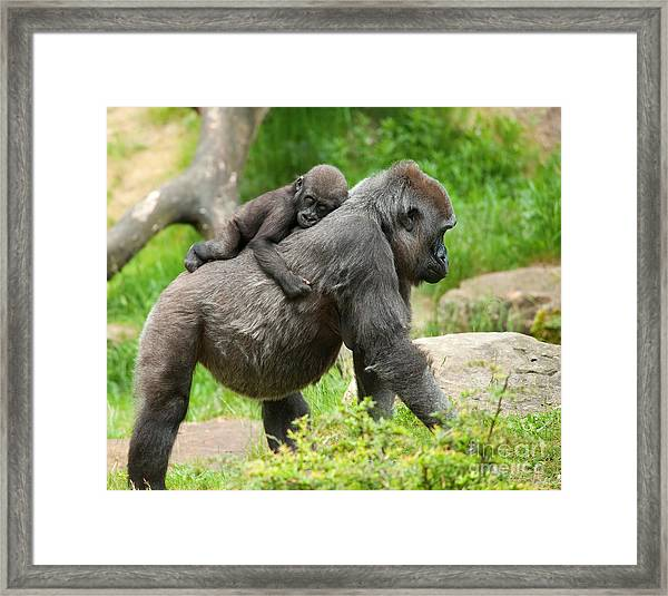 Close-up Of A Cute Baby Gorilla And Framed Print