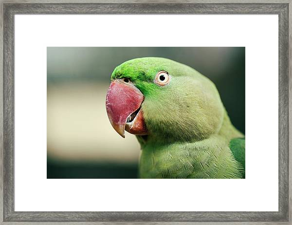 Framed Print featuring the photograph Close Up Of A King Parrot by Rob D Imagery