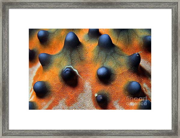 Close-up Of A Knobbly Sea Starhorned Framed Print