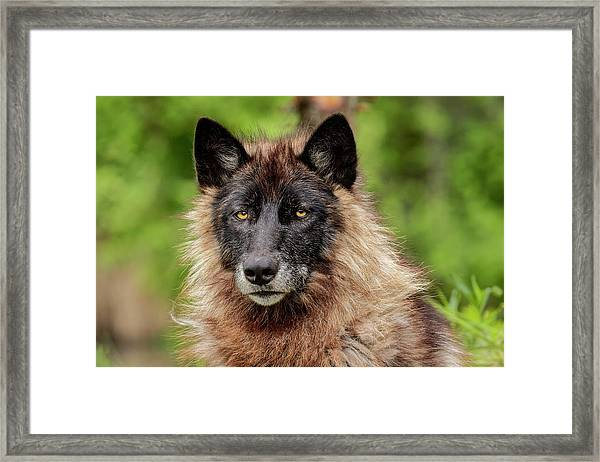 Close-up Of Adult Male Gray Wolf, Canis Framed Print by Adam Jones