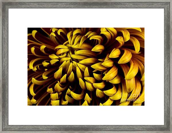 Close-up Of Autumn Dahlia Flower. Macro Framed Print