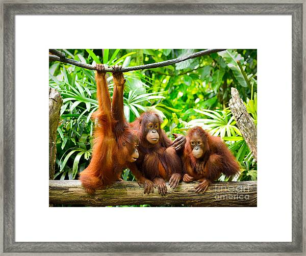 Close Up Of Orangutans, Selective Focus Framed Print by Tristan Tan