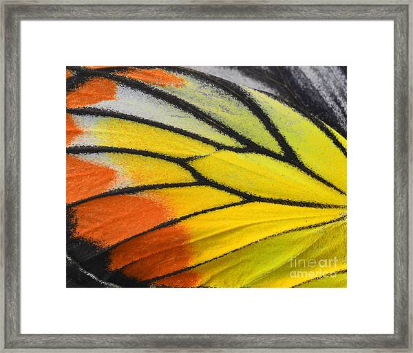 Close Up Of Painted Jezebel Butterflys Framed Print by Super Prin