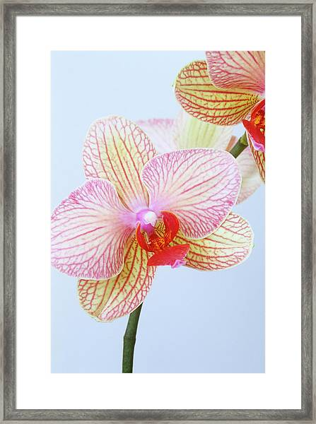 Close Up Of Phalaenopsis Orchid Flower Framed Print by Linda Burgess