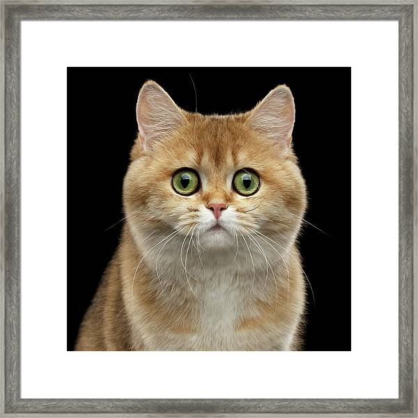 Close-up Portrait Of Golden British Cat With Green Eyes Framed Print