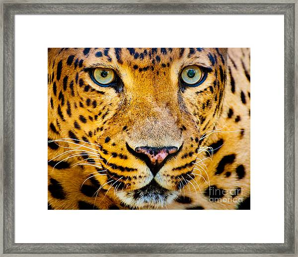 Close Up Portrait Of Leopard With Framed Print
