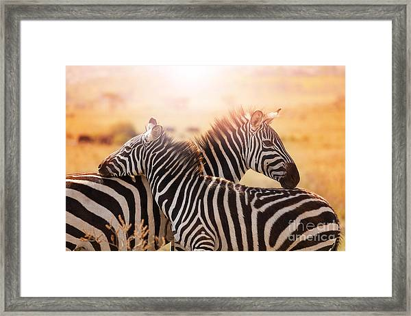 Close-up Portrait Of Mother Zebra With Framed Print