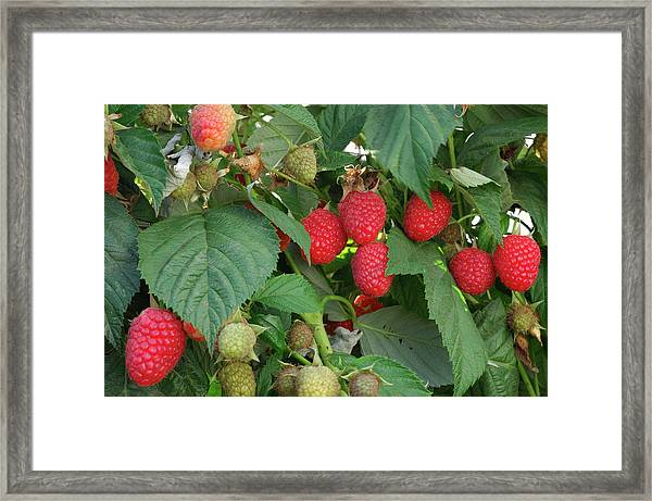 Close-up Ripening Organic Raspberries Framed Print