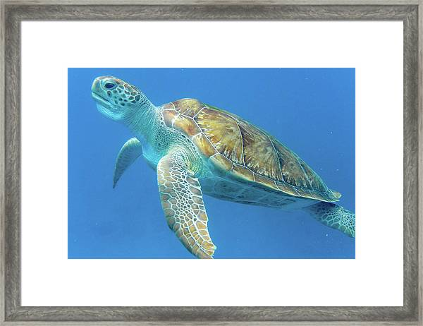 Close Up Sea Turtle Framed Print