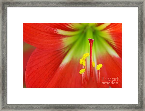 Close Up The Stigma And Stamen Of Lily Framed Print