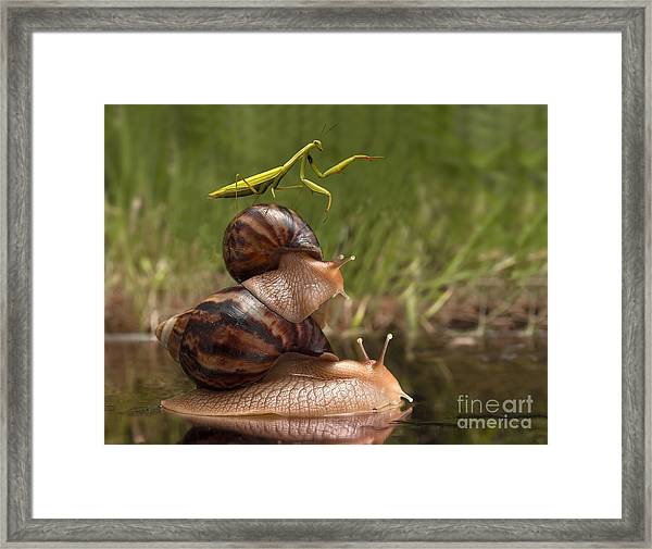 Closeup Praying Mantis Riding On Snails Framed Print