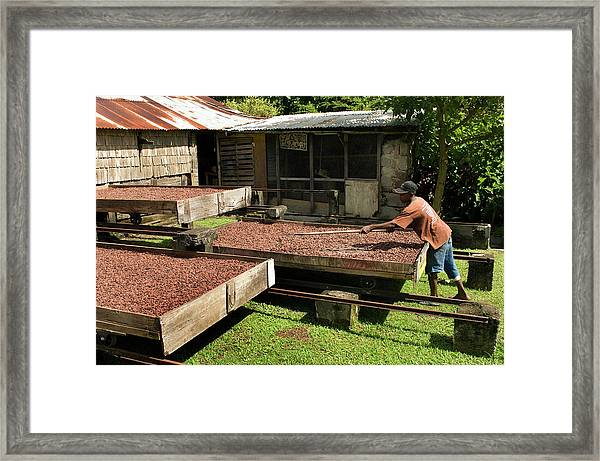 Coffee Beans Being Dried In Large Framed Print