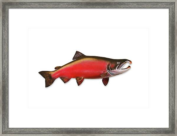Coho Salmon With Clipping Path Framed Print by Georgepeters