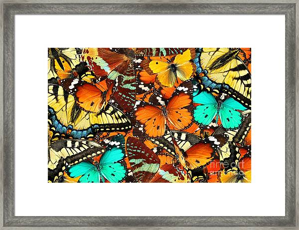 Colorful Butterflies Background. Nature Framed Print