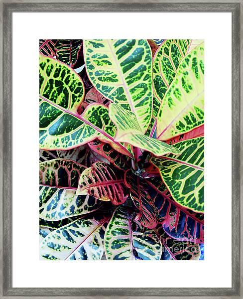 Colorful - Croton - Plant Framed Print