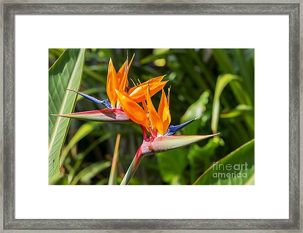 Colorful Of  Bird Of Paradise Flower Framed Print