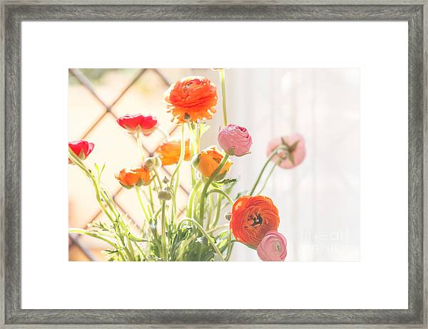 Colorful Persian Buttercup Flowers Framed Print