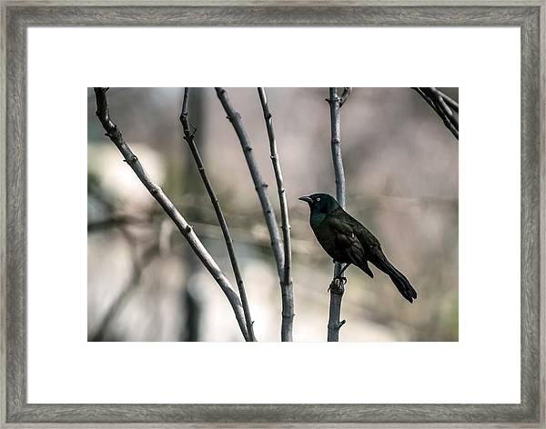 Common Grackle Framed Print by By Ken Ilio