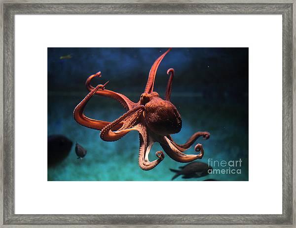 Common Octopus Octopus Vulgaris Framed Print