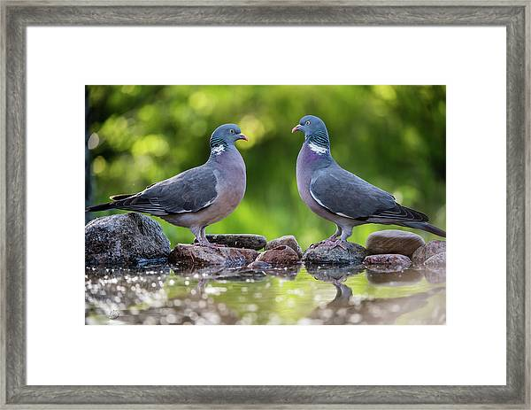 Common Wood Pigeons Meeting At The Waterhole Framed Print