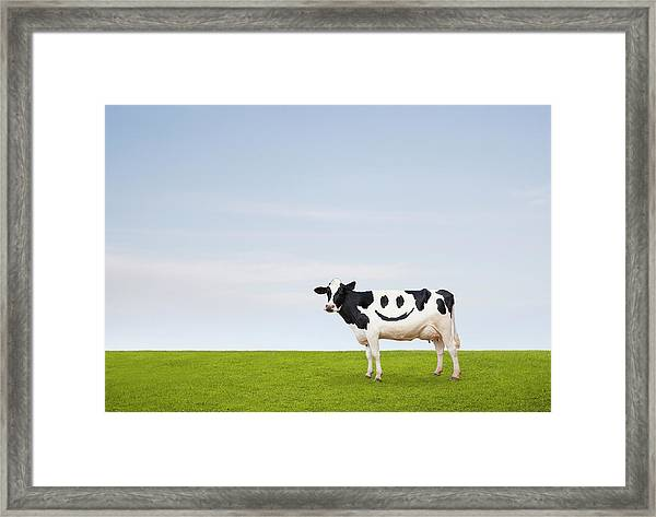 Contented Cow Framed Print