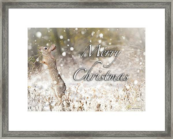 Conttontail Christmas Framed Print