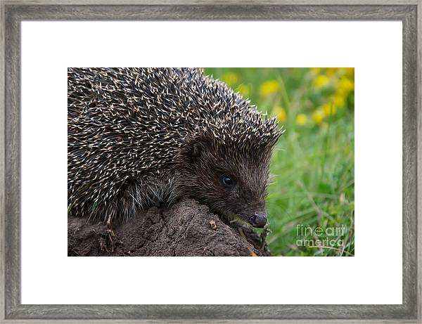 Cool Hedgehog On The Ground At Nature Framed Print