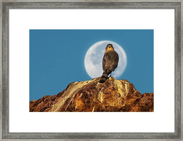 Coopers Hawk With Moon Framed Print