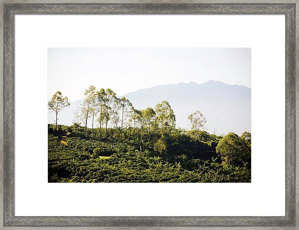 Costa Rica, Alajuela, Coffee Plants At Framed Print by Bob Stefko