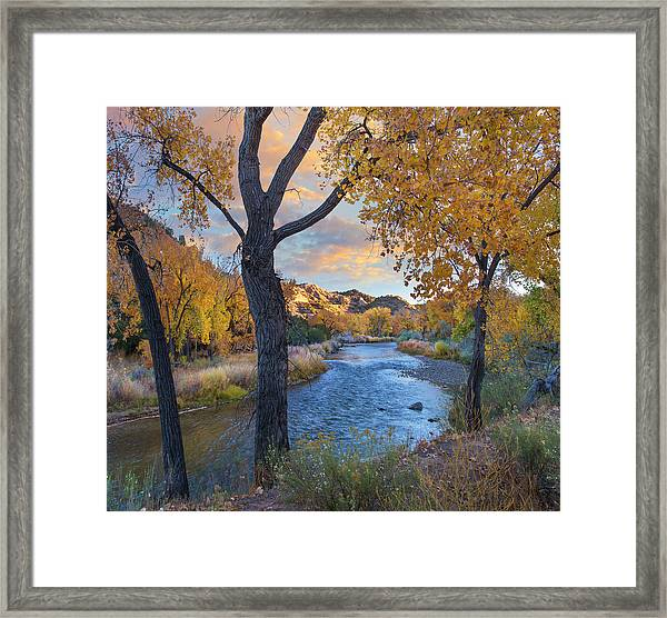 Cottonwoods Along The Rio Grande, Wild Framed Print