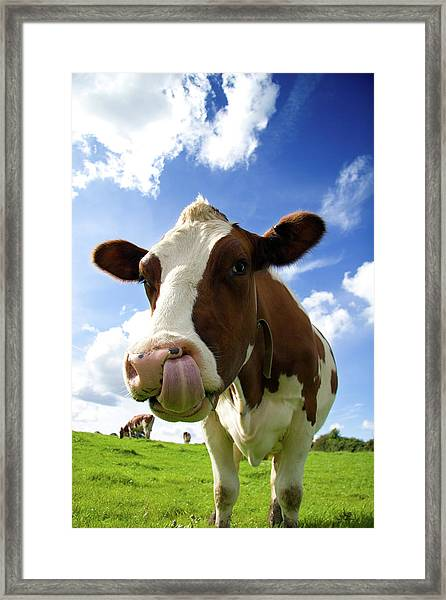 Cow Sticking Its Tongue Out Framed Print by Rick Harrison