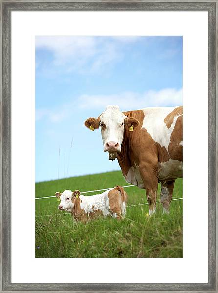 Cow With Calf On Meadow Framed Print by Arne Pastoor / Stock4b