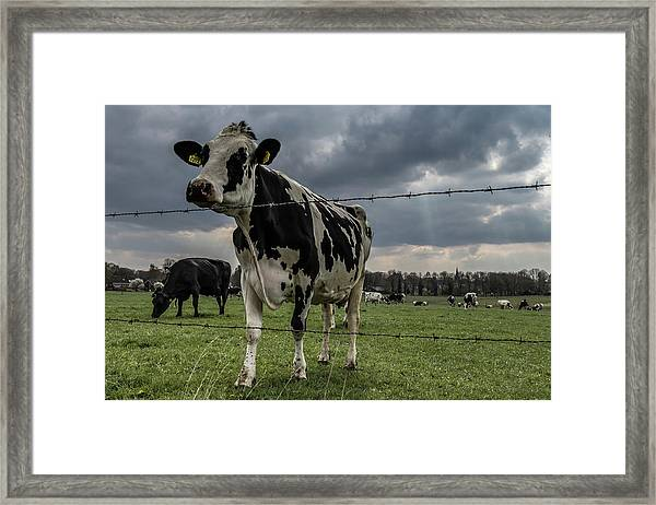 Framed Print featuring the photograph Cows Landscape. by Anjo Ten Kate