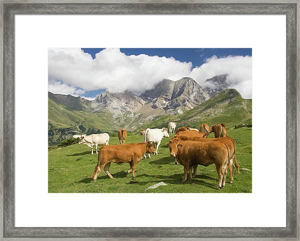 Cows On Mountains Near Gavarnie Framed Print