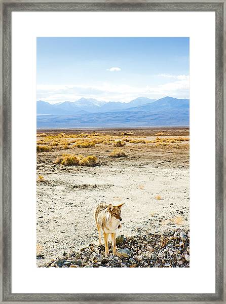 Coyote, Death Valley National Park Framed Print
