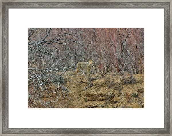 Coyote In The Brush Framed Print