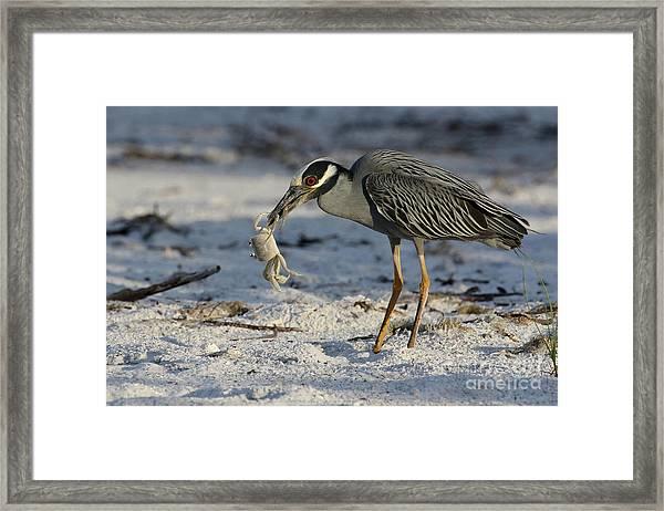 Crab For Breakfast Framed Print