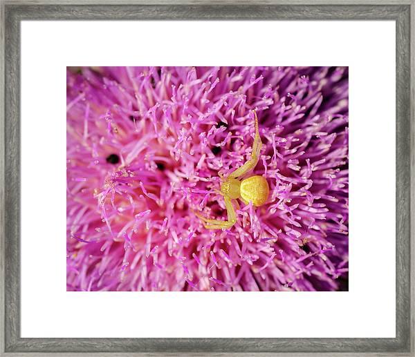 Crab Spider Framed Print