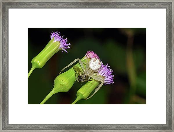 Crab Spider With Bee Framed Print