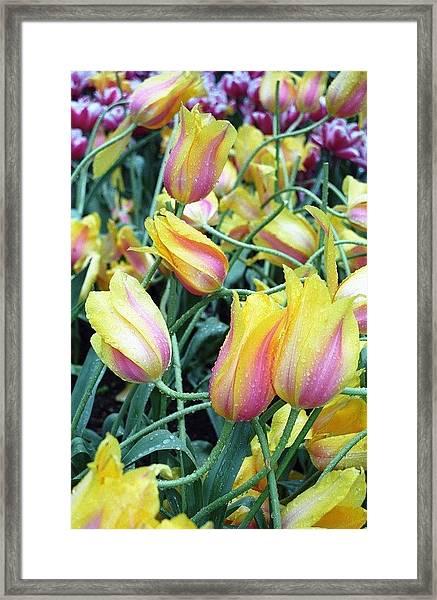 Crazy Tulips Framed Print