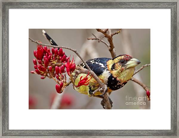 Crested Barbet, South Africa Framed Print
