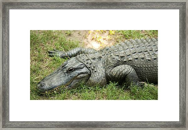 Framed Print featuring the photograph Crocodile Outside by Rob D Imagery