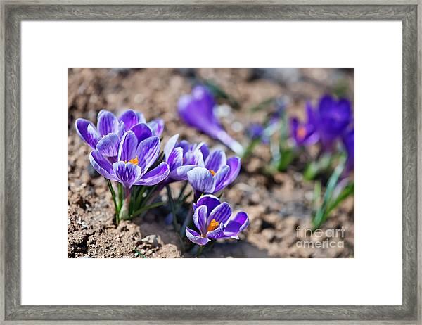 Crocus In Spring Garden, Flowers In The Framed Print