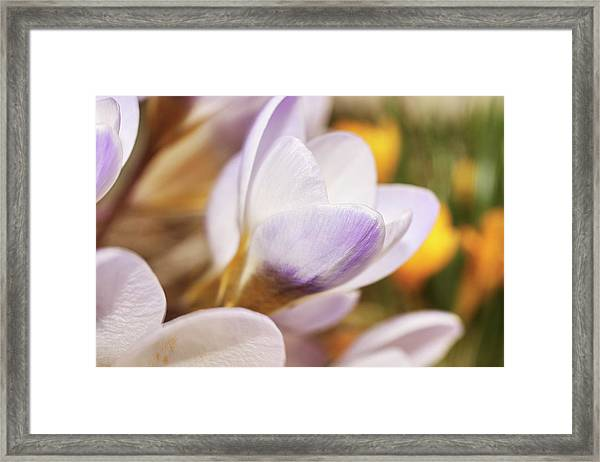 Framed Print featuring the photograph Crocus by Whitney Goodey