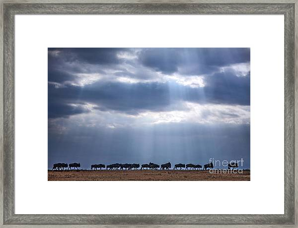 Crossing Wildebeest Framed Print
