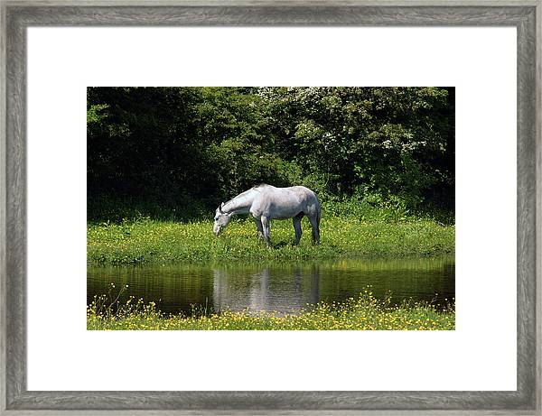 Cumbria. Ulverston. Horse By The Canal Framed Print