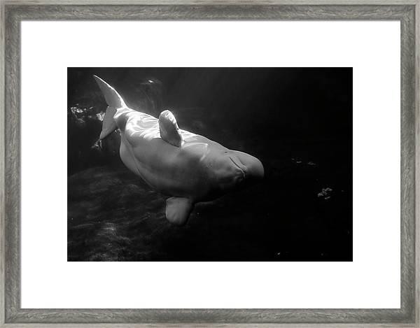 Curious Beluga Framed Print