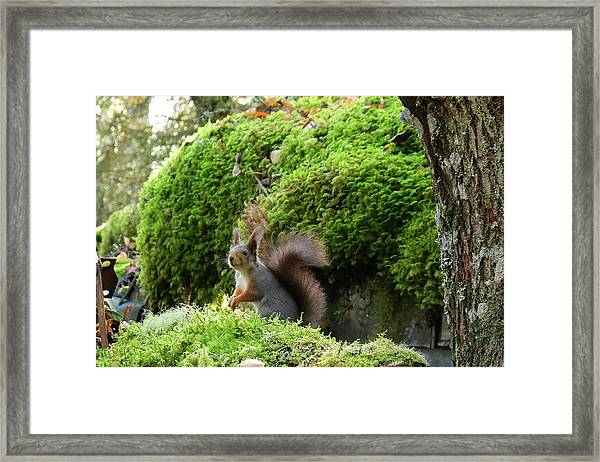 Curious Squirrel Framed Print