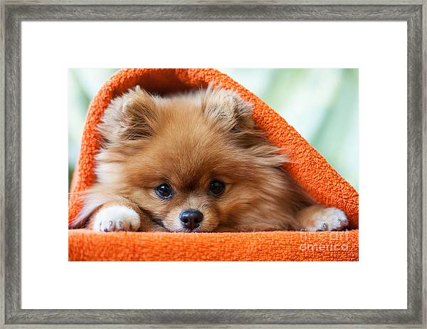 Cute And Funny Puppy Pomeranian Smiling Framed Print