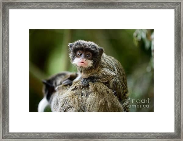 Cute Baby Emperor Tamarin Saguinus Framed Print